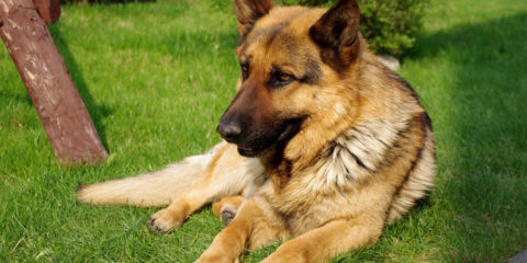 20110425_German_Shepherd_Dog_8473