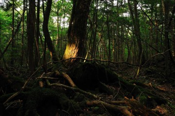 1280px-Aokigahara_forest_02