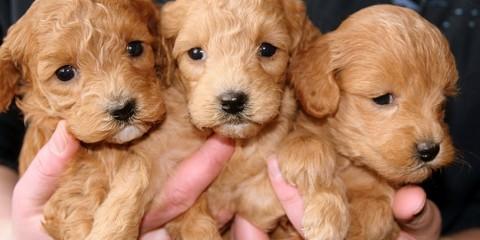 puppies-688425_640