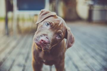 prečo psy krútia hlavou