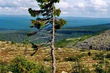 oldest-tree-old-tjikko-sweden-18