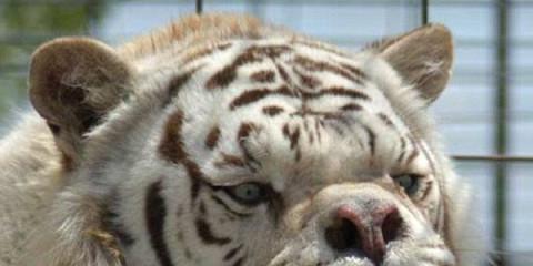 najškaredší tiger