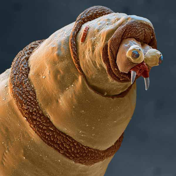 """Coloured Scanning Electron Micrograph Of Tiny Horrors...***EXCLUSIVE, SPECIAL FEES*** UNSPECIFIED - UNDATED: Coloured scanning electron micrograph (SEM) of the head of a Maggot (larva) of a Bluebottle fly (Protophormia sp.). The maggots of this fly are used medicinally to clean wounds. Its mouthparts are seen at centre right (grey). The maggots are sterilised and placed in the wound, where they feed on dead tissue and leave healthy tissue untouched. Their saliva contains anti- bacterial chemicals which maintain sterility in the area. Maggots are used on ulcers and deep wounds away from organs or body cavities, most often being used to treat diabetic ulcers on the feet. Magnification: x45 at 6x7cm size. x70 at 4x5"""". Stunningly detailed pictures magnified by over a MILLION times reveal a true house of tiny horrors - in your home. Shown here through an ultra-powerful Scanning Electron Microscope (SEM) are the tiny beasts living secret lives undetected - right under your nose. One incredible image shows a maggo"""