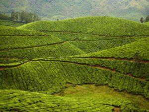 munnar-tea-plantation-india-cr-gallery-stock