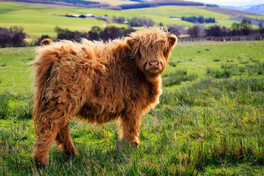 44255-animais-cabeludos-peludos-com-muito-cabelo-vaca-3-900-79439143b9-1474032716