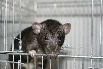 640px-dumbo_rat