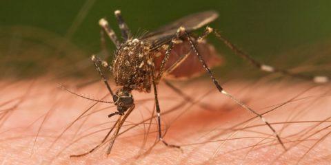 Mosquito_Tasmania_crop