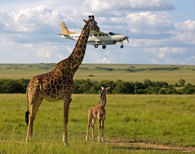 7151010-perfectly-timed-pictures-a-giraffe-1476448850-650-f2f7e99823-1476450051