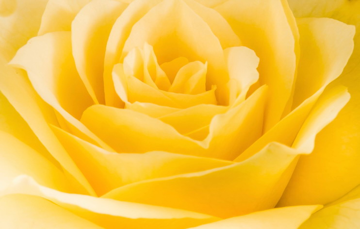 Close detail of a yellow rose flower
