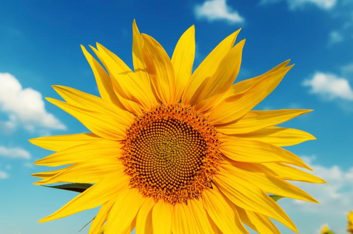 sunflower closeup and blue sky