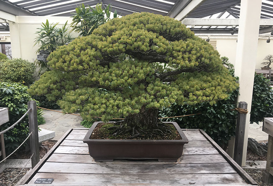 hiroshima-bonsai-tree-1
