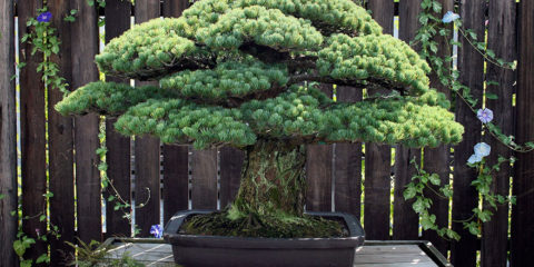 hiroshima-bonsai-tree-2