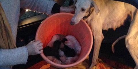dog-mother-broken-leg-leads-vets-puppies-spain-8