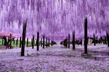 tochigi-wisteria-festival-japan-58e603bea0512__880