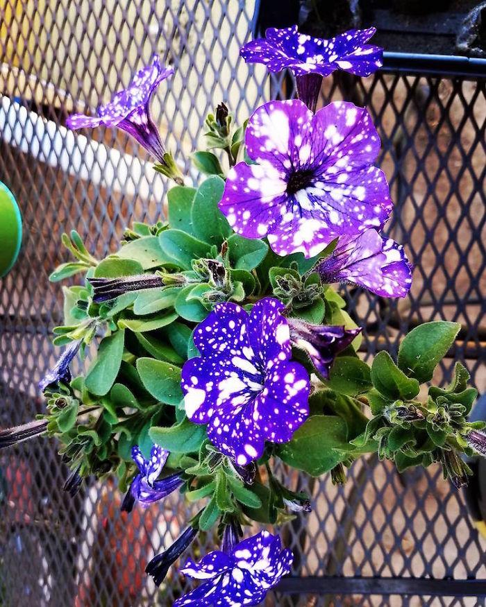 night-sky-petunia-cultivars-galaxy-flowers-10-593f86e5659c6__700