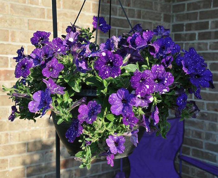 night-sky-petunia-cultivars-galaxy-flowers-14-593f86ef5045e__700