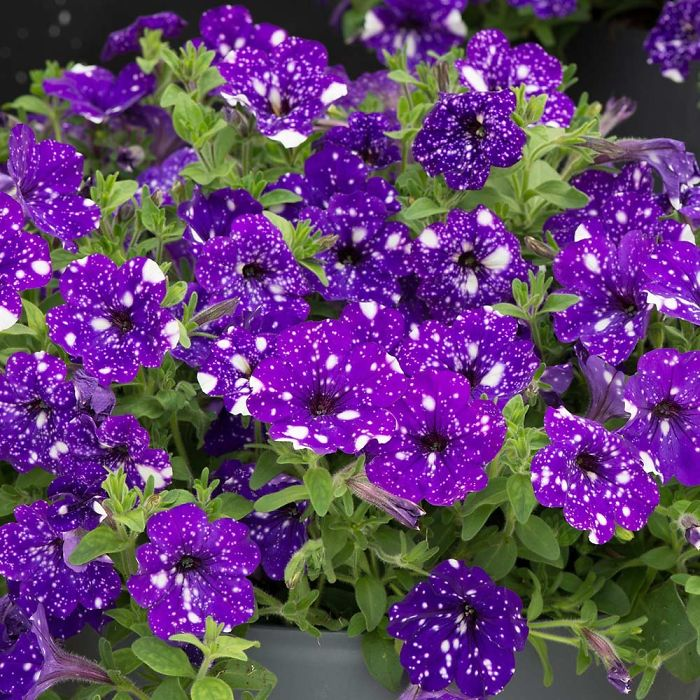 night-sky-petunia-cultivars-galaxy-flowers-15-593f86f1124e5__700