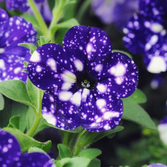 night-sky-petunia-cultivars-galaxy-flowers-3-593f86d850deb__700