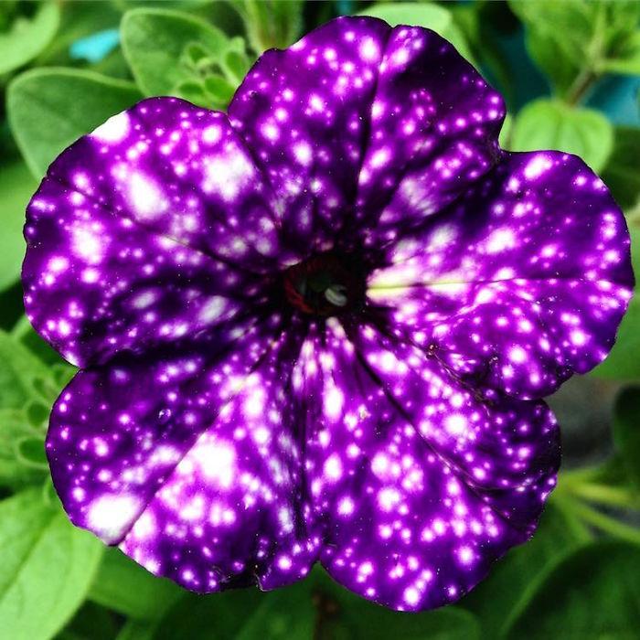 night-sky-petunia-cultivars-galaxy-flowers-6-593f86dd3752d__700