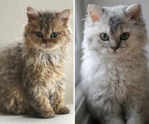 curly-kittens-selkirk-rex-breed-miss-depesto-5-598d727518fd9__700