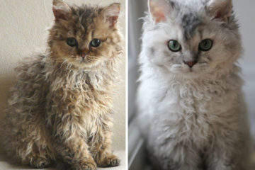 curly-kittens-selkirk-rex-breed-miss-depesto-5-598d727518fd9__700