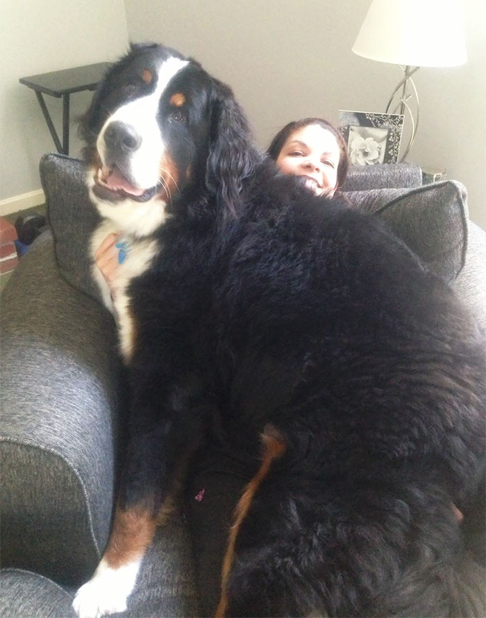 giant-lap-dogs-116-599c35d1c41ef__700