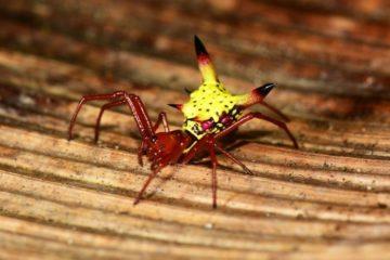 01-spider-pokemon-kolby-micrathena-sagittata-spider-for-ngs-high-res-dsc_18281adapt8851-59d191e04d39b__700