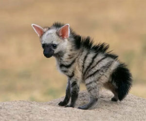 cute-wild-animals-aardwolf-1-5a128c18e52e6__700