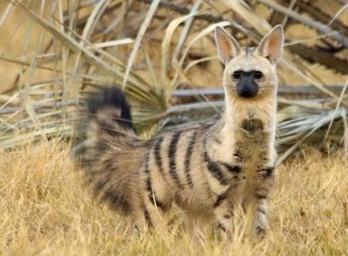 cute-wild-animals-aardwolf-2-5a128cc8bc481__700