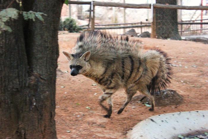 cute-wild-animals-aardwolf-3-5a128d71c8cd5__700