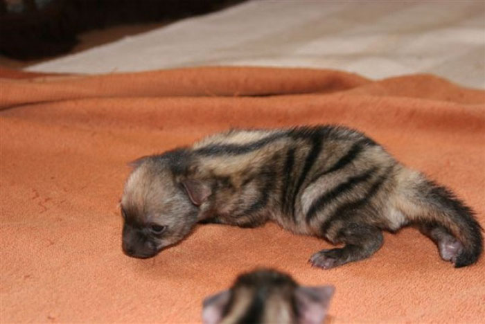 cute-wild-animals-aardwolf-4-5a128e95f1314__700