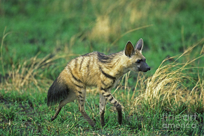 cute-wild-animals-aardwolf-5a1298ad5fc57__700