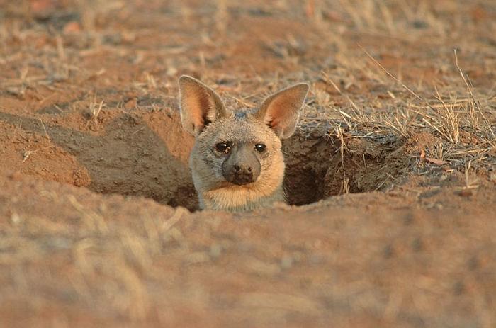 cute-wild-animals-aardwolf-7-5a12910b31a59__700