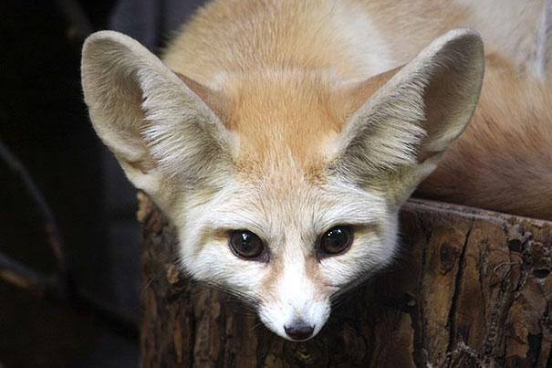 fennec-fox-vegan-diet-animal-abuse-jumanji-sonia-sae-27-5aa0fc8109504__605
